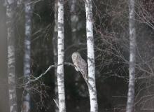 Ural owl -by-Jarek-Jõepera