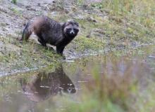 Raccoon Dog by Gerlach Photography