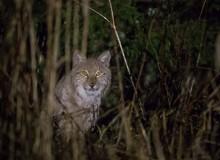 Lynx by M.Piispea