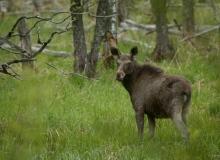 Elk by Jarek Jõepera