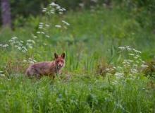 Red Fox by Tarmo Sammal