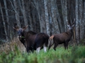 Elk photo safari, Elk photography, wildlife photography, photo tour, nature photography