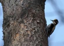 Three-toed-woodpecker