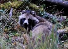 wilderness-tour-estonia-raccoon-dog