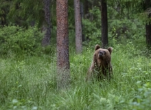 Young Brown bear by Endel Pendin