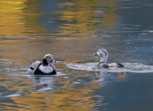 Long-tailed Ducks by Peter-Lind