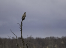 White-tailed Eagle by Janne_Põlluaas