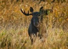 Elk in Autumn