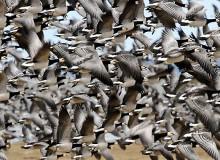 Migrating flock