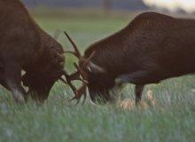 Elk in Matsalu