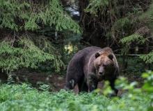 Brown Bear from the hide by Klaas Huwel