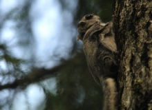 Flying-Squirrel-photo-by-Martin-Absalon