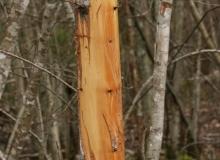 Brown Bear marking by Ueli Weber